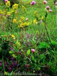 Blumen Leuchtturm Hiddensee
