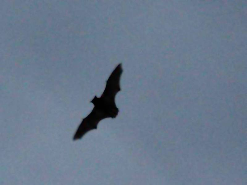 Fledermaus auf Hiddensee - Photo: Gunnar Kaltofen
