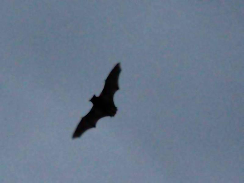 Fledermauswanderungen – Termine für 2017