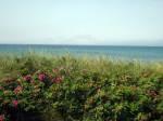 Dünenrosen auf der Küstenschutzdüne am Vitter Ostseestrand