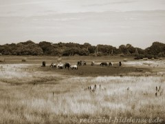 Pferde Koppel Hiddensee