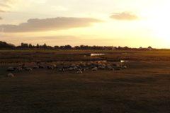 Zufriedene Pommersche Landschafe im Abendlicht auf den Salzwiesen Hiddensees
