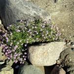 Unerwartet grünt und blüht es oft entlang der Steilküste Hiddensees.