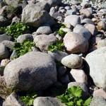 Inmitten der Steinfelder Hiddensee drängen zähe und robuste Pflanzen zum Licht.